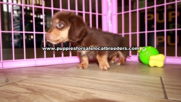 Chocolate Mini Dachshund Puppies For Sale Georgia