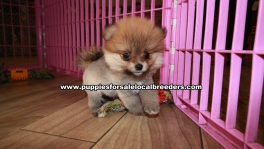 Adorable Pomeranian Puppies For Sale Georgia