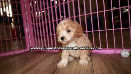Adorable Cavachon Puppies For Sale Georgia