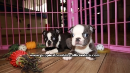 Adorable Boston Terrier Puppies For Sale Georgia
