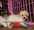 Adorable Shih Poo Puppies For Sale Georgia