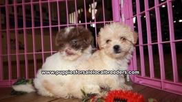 Adorable Shih Poo Puppies For Sale Georgia