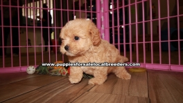 Adorable Maltipoo Puppies For Sale Georgia
