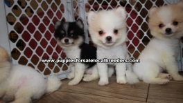 Adorable Pomeranian Puppies for sale Ga