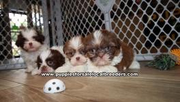 Adorable Shih Tzu Puppies for sale Ga