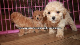 Adorable Malti Poo Puppies for sale Ga