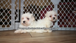 Adorable Maltese Puppies for sale Ga