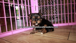 Adorable Yorkie Terrier Puppies for sale Ga