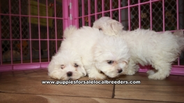 Adorable Malti Tzu Puppies for sale Ga