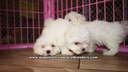 Adorable Malti Tzu Puppies for sale Ga