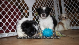 Gorgeous Morkie Puppies For Sale Georgia
