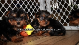Gorgeous Yorkie Puppies For Sale Georgia