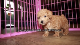 Gorgeous Poodle Puppies For Sale Georgia