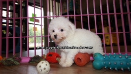 Lovely Bichon Frise Puppies For Sale Georgia