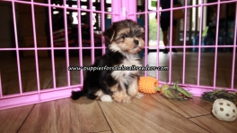 Lovely Morkie Puppies For Sale Georgia