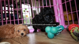 Lovely Shih Poo Puppies For Sale Georgia
