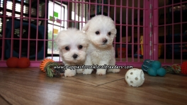 Lovely Maltese Puppies For Sale Georgia