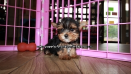 Lovely Yorkie Puppies For Sale Georgia
