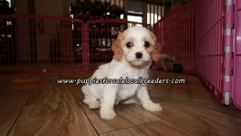 Cute Cavachon Puppies For Sale Georgia
