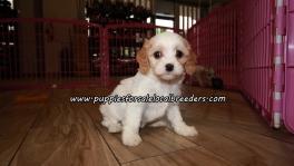 Cute Cavachon Puppies For Sale Georgia