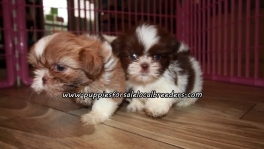 Cute Shih Tzu Puppies For Sale Georgia