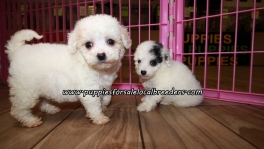 Cute Maltipoo Puppies For Sale Georgia