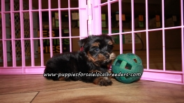 Cute Yorkie Puppies For Sale Georgia