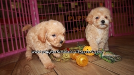Cute Bichonpoo Puppies For Sale Georgia