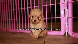 Cute Cavapoo Puppies For Sale Georgia