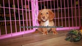 Perfect Mini Dachshund Puppies For Sale Georgia