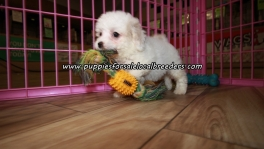 Perfect Maltipoo Puppies For Sale Georgia