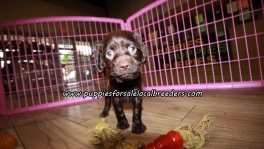 Perfect Boykin Spaniel Puppies For Sale Georgia