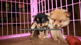 Perfect Pomeranian Puppies For Sale Georgia