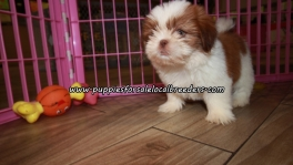 Perfect Shih Tzu Puppies For Sale Georgia
