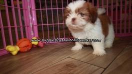 Perfect Shih Tzu Puppies For Sale Georgia