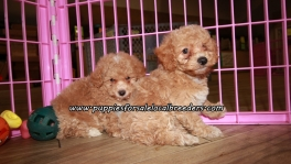 Perfect Poodle Puppies For Sale Georgia