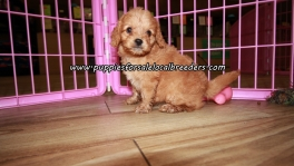 Sweet Cavapoo Puppies For Sale Georgia