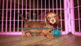 Sweet Mini Dachshund Puppies For Sale Georgia