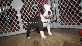 Sweet Boston Terrier Puppies For Sale Georgia