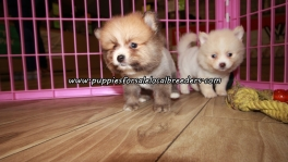 Sweet Pomeranian Puppies For Sale Georgia