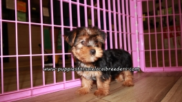 Sweet Yorkie Puppies For Sale Georgia