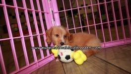 Small Mini Dachshund Puppies For Sale Georgia