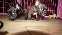 Small Frenchton Puppies For Sale Georgia