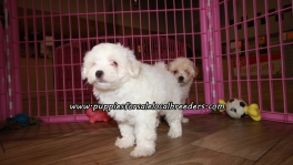 Small Maltipoo Puppies For Sale Georgia