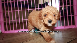 Small Poodle Puppies For Sale Georgia