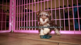 Adorable Mini Schnauzer Puppies For Sale Georgia