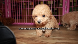 Adorable Poodle Puppies For Sale Georgia