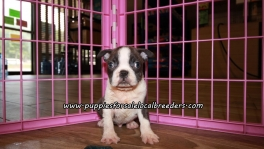 Adorable Blue Boston Terrier Puppies For Sale Georgia