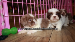 Adorable Shih Tzu Puppies For Sale Georgia