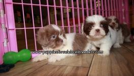 Adorable Shih Tzu Puppies For Sale Georgia